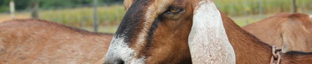 goatscloseup